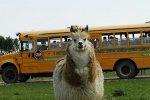 Lama, Zwierzyniec Bałtowski