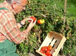 Pora na pomidora