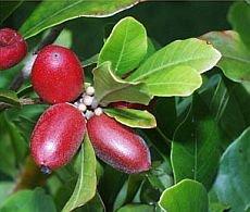 cudowny owoc