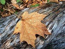 liść jesień